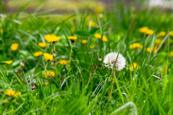 dandelions and other weeds among the grass. an overgrown backyard needs clearing. springtime lawn care concept
