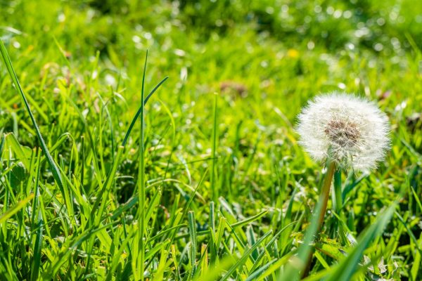 A selective focus shot of a common dandelion in the green grass
